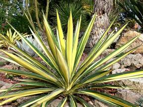 color guard yucca spoonleaf yucca color guard yucca filamentosa 18 24