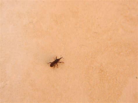 piccoli insetti neri in casa piccoli insetti non identificati mi infestano la mansarda