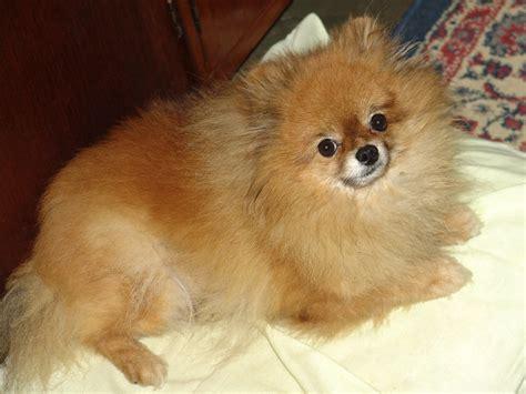 how to care for a pomeranian puppy doreen martel writer portfolio how to care for a pomeranian