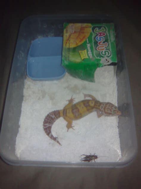 kandang gecko