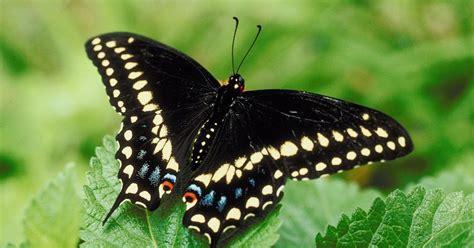 black swallowtail butterfly 87816875 jpg w 1200 h 630 crop min 1