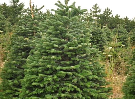 images of abies nordmanniana christmas tree christmas
