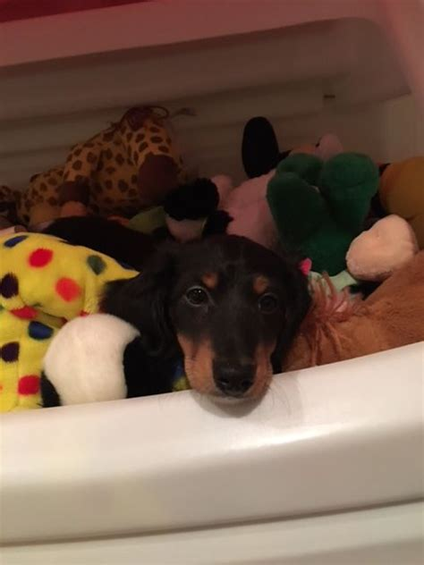 puppies for sale columbia mo 25 best ideas about dachshund puppies for sale on daschund puppies for
