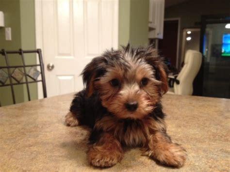 9 week yorkie 9 week yorkie puppies i want random