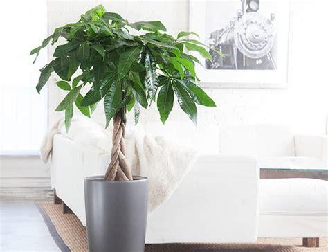 best indoor tree 10 best indoor plants for men money tree most feng shui