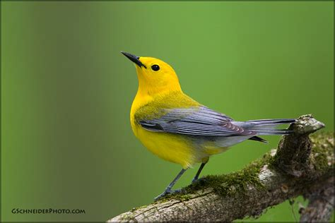 Prothonotary Search Photo Prothonotary Warbler 7496