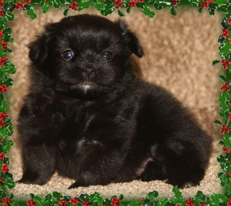 havanese pomeranian free pomeranian puppies breeds picture