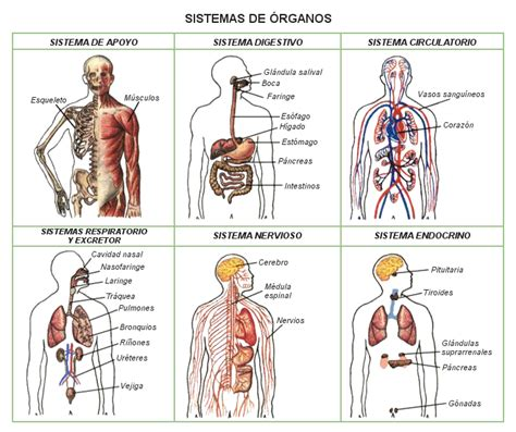 interior del cuerpo humano organos el impacto del masaje en los 243 rganos internos y el