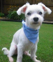 southern comfort maltese rescue southern comfort maltese rescue about scmr