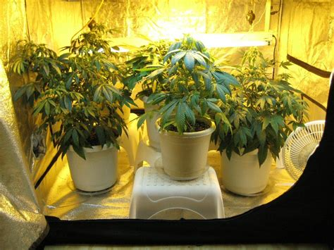 grow tents work learn growing marijuana