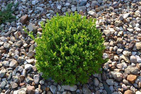 winter gem boxwood is a great low maintenance evergreen plant