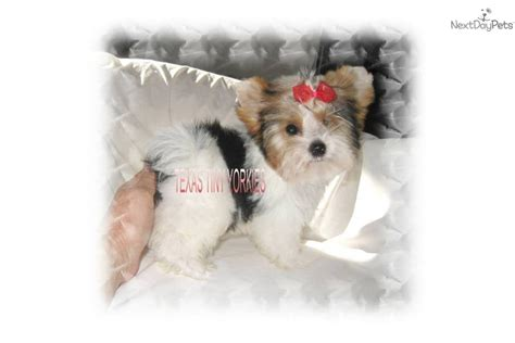 parti yorkies for sale near me terrier yorkie puppy for sale near abilene e5a9a919 1b71