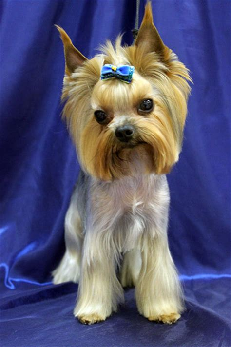 female yorkie haircuts female yorkie haircuts related keywords female yorkie