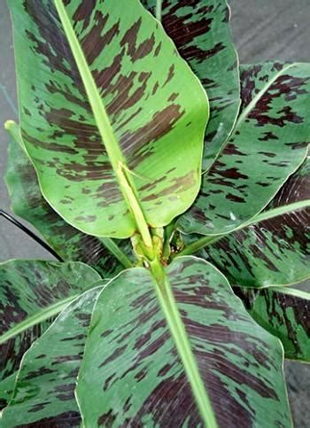 online plant guide musa truly tiny truly tiny banana willoway nurseries inc the midwest s premier wholesale