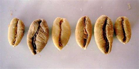 kopi liberika kopi dengan cita rasa sayuran entrepeneur