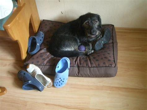 hund pinkelt in wohnung wenn er alleine ist schuhe socken ins k 246 rbchen legen wenn er alleine ist