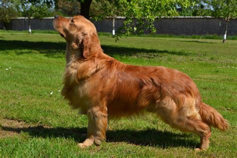 eleveur golden retriever elevage des l 233 gendaires nahauri eleveur de chiens golden retriever