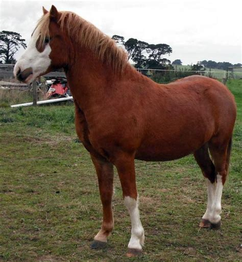 welsh section d ponies for sale welsh ponies for sale welsh horse 187 horsezone page 9