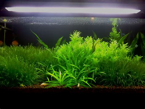 Aquascape Plants For Sale by Planted Aquarium In Chennai India Planted Tank Aquascape