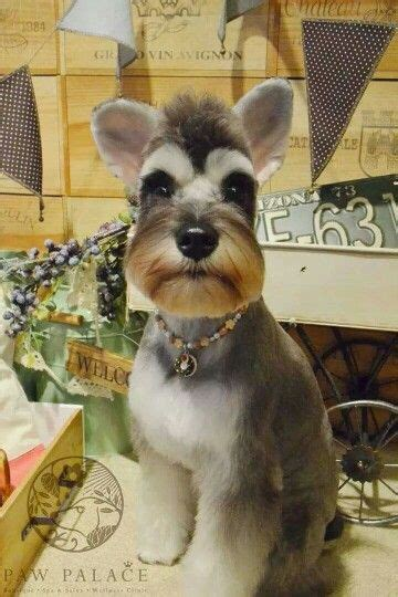 asian style schaunzer hair trim 25 best images about schnauzer hair cuts hairstyles on