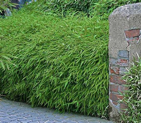 Pflanzen Sichtschutz Terrasse 920 by Bambushecke 4