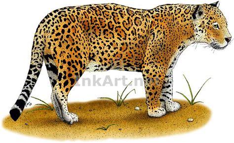 jaguars colors jaguar panthera onca line and color illustrations