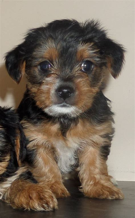 blue yorkie puppies beautiful blue terrier puppies manchester greater manchester pets4homes