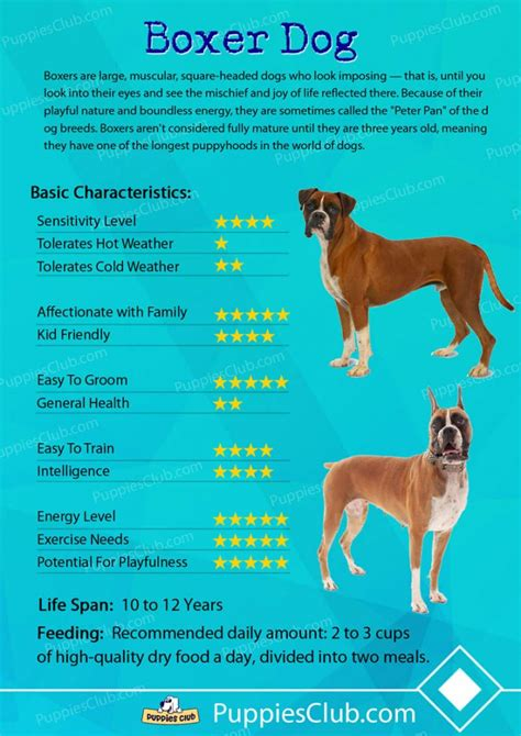 dogs and personalities boxer breed information pictures characteristics autos post