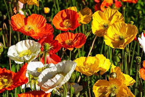 3d Paintings iceland poppies wagga wagga new south wales australia i