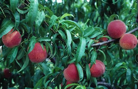nc fruit trees comprehensive resource for fruit trees carolina