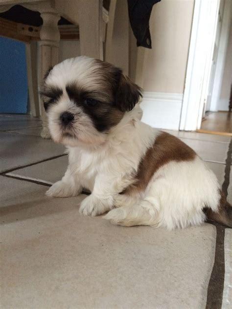 shih tzu pedigree 6 adorable pedigree shih tzu puppies for sale thatcham berkshire pets4homes