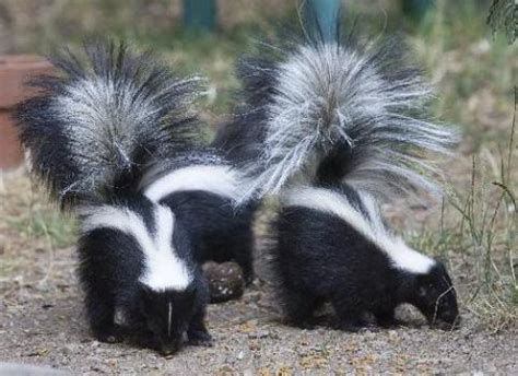 skunks pay visit to house and enchant the owner