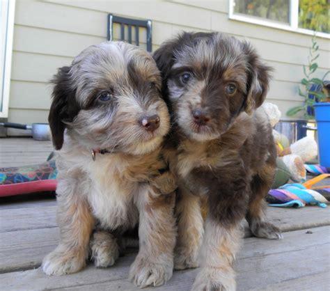 yorkie doodle puppies aussiedoodle australian shepherd poodle mix info