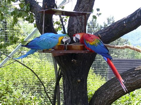 file zoo ul blue and gold macaw and scarlet macaw jpg