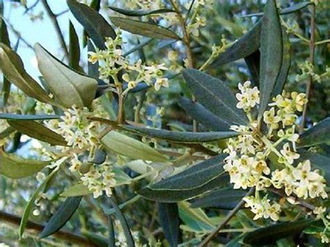 fiori di ulivo tipo di impollinazione 232 utilizzata dall olea europaea