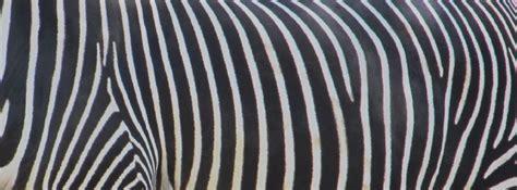 skin pattern of zebra zebra skin pattern background free stock photo public