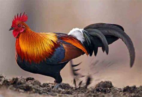 wallpaper merah emas ayam hutan merah nenek moyang ayam peliharaan cakrawala