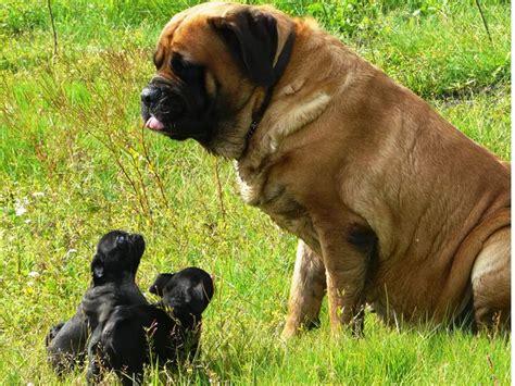 mastiff pug pugs and mastiff dogs