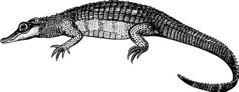Alligator Black free clipart of a black and white alligator