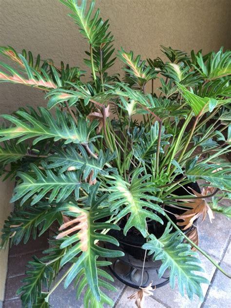 spider plant diseases spider mites or sun burn