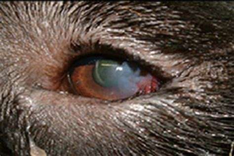 entropion in dogs eye conditions in labs riorock labs labradors