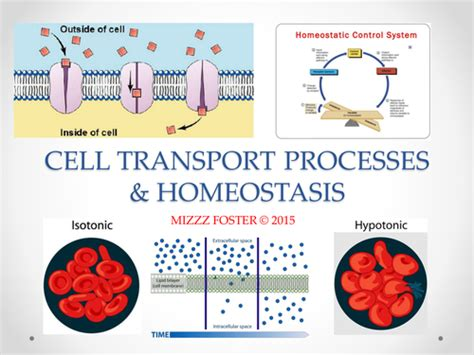 Homeostasis And Cell Transport Worksheet by Osmosis Diffusion Worksheet Teaching Resources