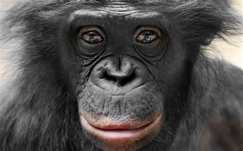 monkey wallpaper for walls bonobo full hd wallpaper and background 1920x1200 id