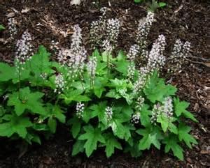 Baltimore Flowers - future plants by randy stewart tiarella amp heucherella