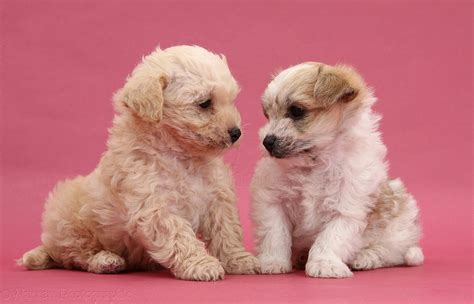 Dogs: Cute Bichon x Yorkie pups kissing on pink background ...