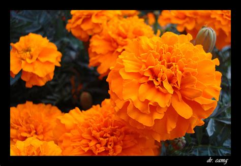 imagenes de flores de muertos octubre 2011
