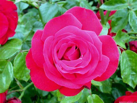 imagenes de flores rositas fotos de flores rosas 2 pag 11 240 fotos de calidad
