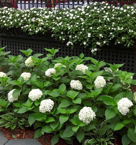 are hydrangeas poisonous to dogs 13 common houseplants that are poisonous to pets homes
