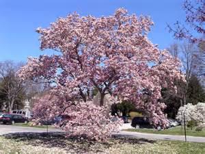 magnolias collection tour scott arboretum