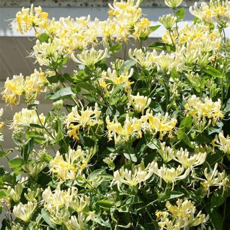 scentsation honeysuckle  jackson perkins